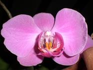 Orchid In Hindi Translation English Hindi Dictionary Glosbe